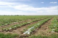 2014年VWIN真人市节水灌溉1000亩糖菜基地